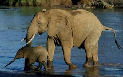 Африканским слонам грозит вымирание из-за браконьеров