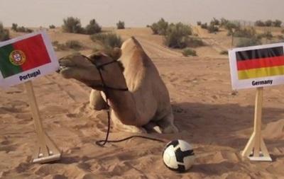 Верблюд-предсказатель сделал прогноз на матч Германия - Португалия