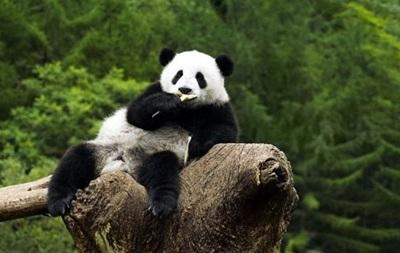 Панда-дипломатия. Китай отправил панд наладить отношения с Южной Кореей