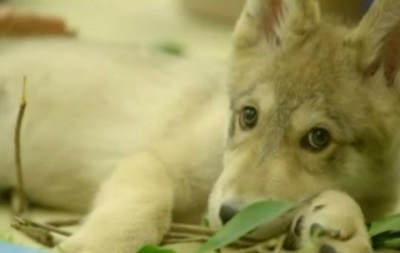 Двухмесячный волчонок станет послом зоопарка в Калифорнии