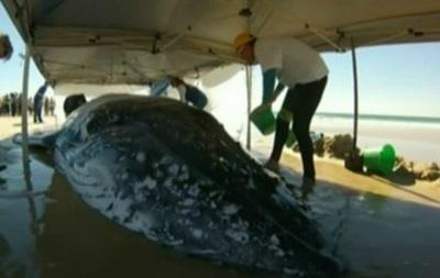 В Австралии кита два дня затягивали в море