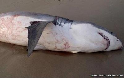 В Австралии белая акула подавилась тюленем