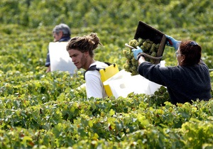 К 2050 году могут исчезнуть самые крупные французские виноградники