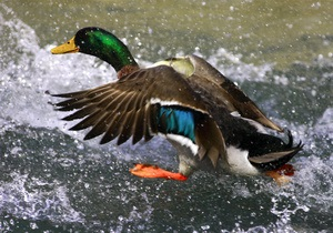 Сезон охоты - На выходных в Киевской области будет открыт сезон охоты на пернатых
