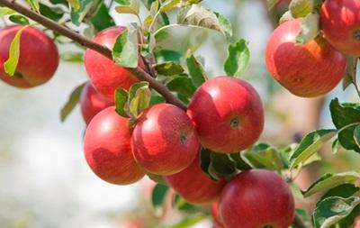 США рассматривают предложение об импорте яблок из Польши