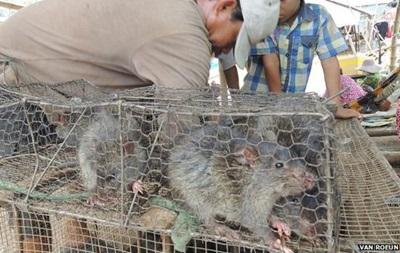 Камбоджа наращивает экспорт мяса  экологически чистых  крыс