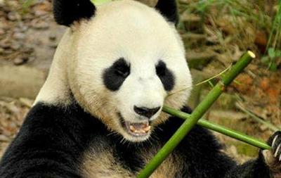 В Китае панда притворялась беременной ради улучшения условий содержания
