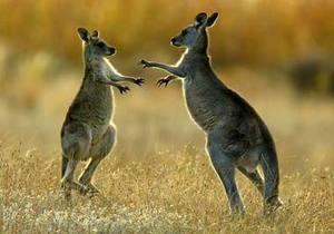 Кенгуру - В Австралии кенгуру спас заблудившегося мальчика от переохлаждения