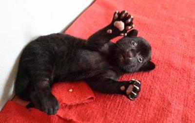 В Китае родился черный тигренок без полосок