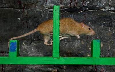 О нью-йоркских крысах снимут документальный фильм