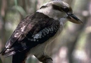 В Австралии запретили использовать слово  Gay  в детской песенке про птицу Кукабару
