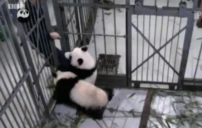 В Китае панда не захотела отпускать смотрителя