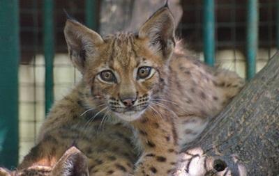Одесскому зоопарку подарили карпатских рысят