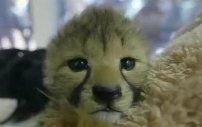 Работники американского зоопарка  усыновили  детенышей гепарда