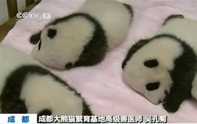 В Китае панда родила сразу девятерых детенышей