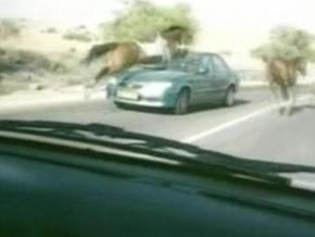 В Израиле конь врезался в ветровое стекло автомобиля