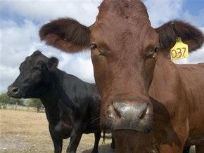 Житель Нидерландов скончался от коровьего бешенства