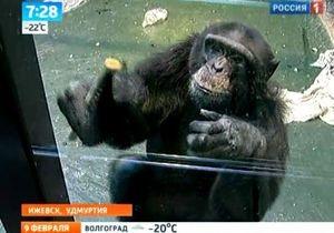 В российском зоопарке обезьян привлекли к мытью полов и окон