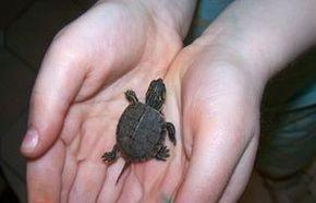 Палеонтологи обнаружили черепаху с самым маленьким панцирем в мире