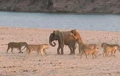 Видео спасения слоненка от 14 львов взорвало интернет
