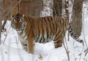 В России амурский тигр растерзал человека