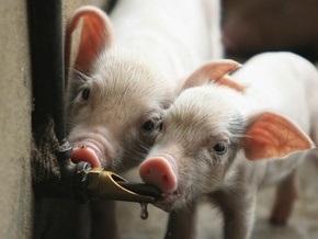 В Австрии ищут ирландскую свинину, зараженную диоксинами