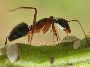 Сумасшедшие муравьи заполонили юг США