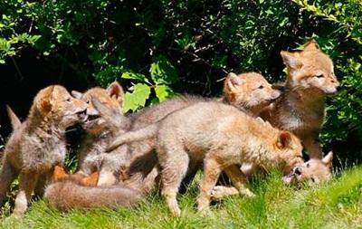В Калифорнии запретили денежные призы за отстрел койотов