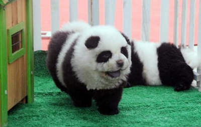 В итальянском цирке  загримированных  собак породы чау-чау выдавали за панд