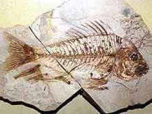 В Австралии обнаружена окаменелость рыбы возрастом более 100 млн лет
