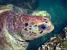 В Мексике - нашествие оливковых черепах