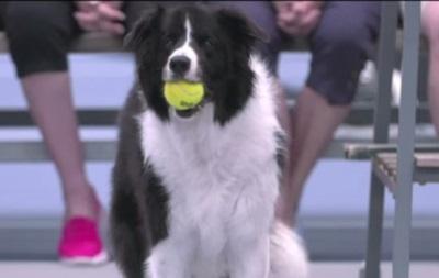 Собаки-болбои обслужили матч на турнире в Новой Зеландии