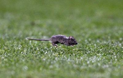 Домашнюю арену Манчестер Юнайтед атакуют мыши
