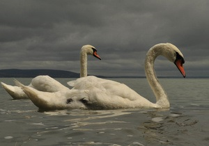 В Ровно на городское озеро выпустят пару лебедей