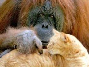 Скончался старейший в США орангутан, живший с котом