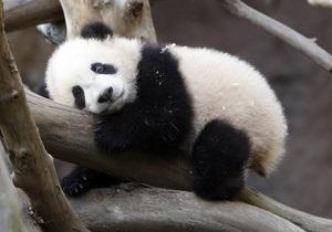 В Токио задержали мужчину, пытавшегося продать туристам чучело панды