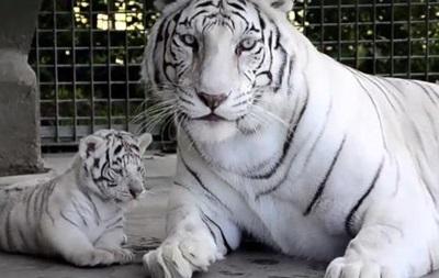 В аргентинском зоопарке впервые показали новорожденных белых тигрят