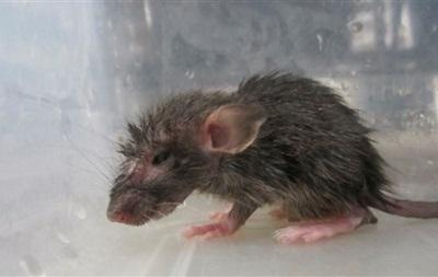 Ученые: Крысы Нью-Йорка могут стать разносчиками бубонной чумы