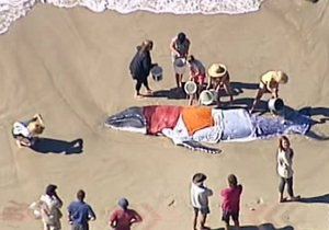 В Австралии детеныш кита второй раз за неделю выбросился на берег