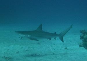 Лисья акула бьет добычу по голове хвостом
