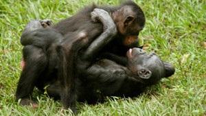 Карликовые шимпанзе афишируют свою гомосексуальность