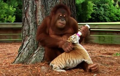 Мистер няня: ролик о самом добром орангутанге покорил любителей животных