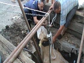 В Харьковской области спасли корову, провалившуюся в колодец