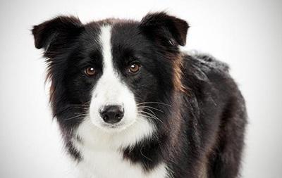 Дрессированные собаки не способны следить за взглядом хозяина – ученые