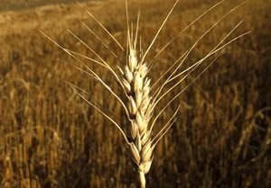 Цены на зерно падают из-за введения квот - эксперт