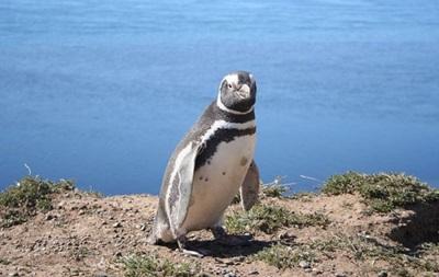 Пингвин из зоопарка Тбилиси доплыл до Азербайджана