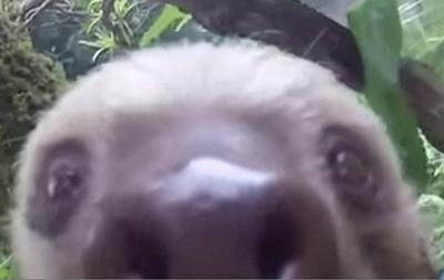 Ленивец сделал селфи на камеру туриста в Никарагуа