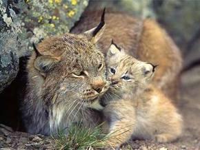 Киевский зоопарк на выходных соберет средства на строительство вольера для рыси