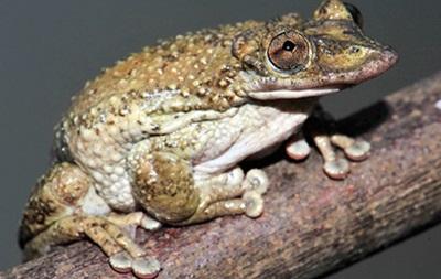 В Бразилии нашли первую в мире ядовитую лягушку