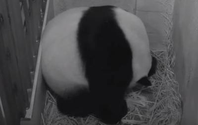 Большая панда в Вашингтоне родила детеныша